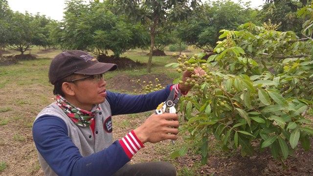 Seorang pekerja merawat pohon kelengkeng yang sedang berbuah