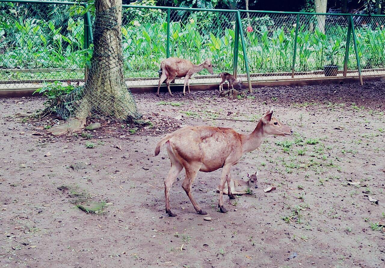 Induk dan bayi rusa timor di penangkaran BLIK KLHK (foto: istimewa)
