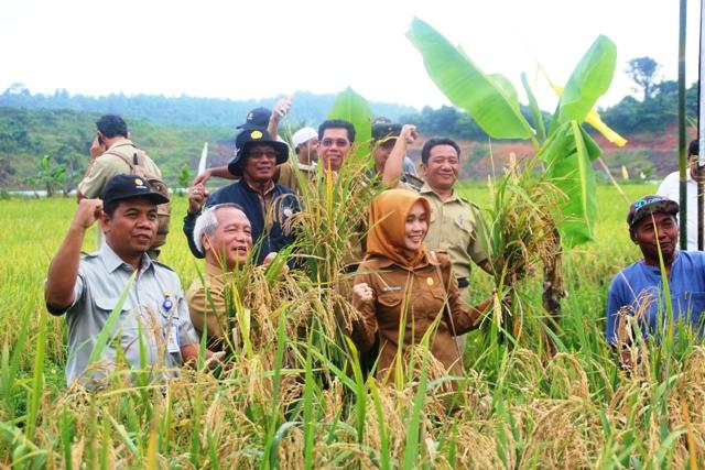 Panen padi di lahan bekas tambang di Kelurahan Loa Bahu, Kecamatan Sungai Kunjang, Samarinda, Kalimantan Timur.
