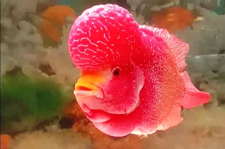 Ikan Louhan Kini Berkibar Kembali Agroindonesia